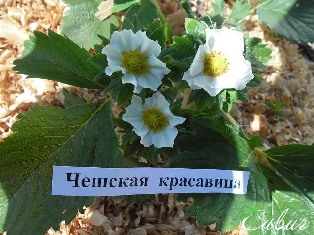 сорта клубника чешская красавица фото описание